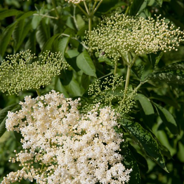 """""""Elder white blossoms cluster"""" stock image"""
