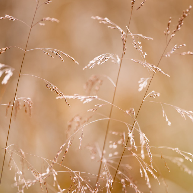 """Grass inflorescences blurred"" stock image"