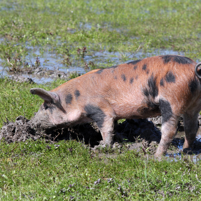 """""""dirty little pig in a mud"""" stock image"""