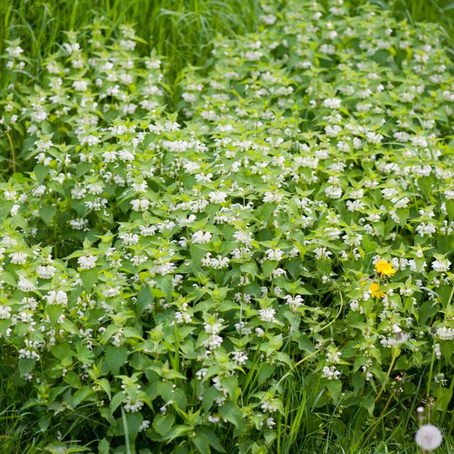 """""""White Lamium album plants"""" stock image"""