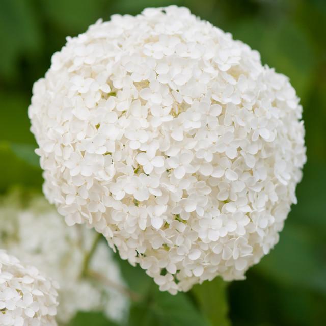 """Spherical hydrangea inflorescences"" stock image"