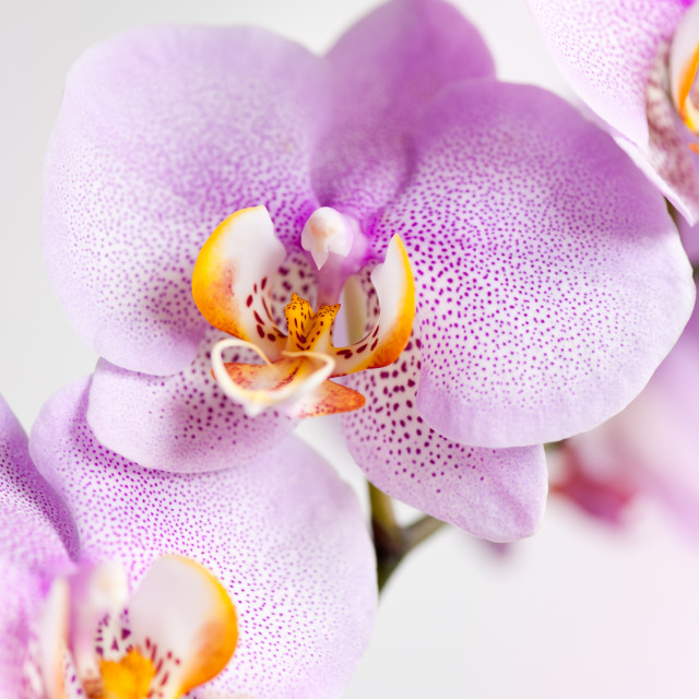 """""""Pink spotted Orchid blossoms"""" stock image"""