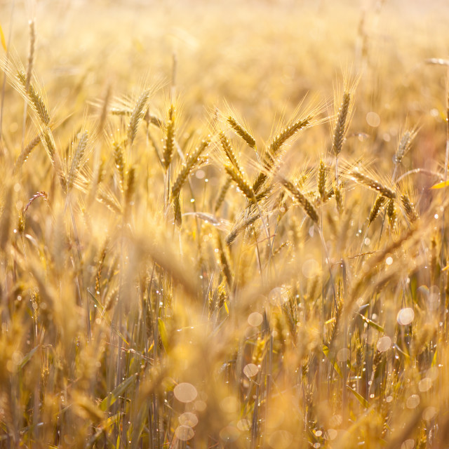 """Cereal field after the rain"" stock image"