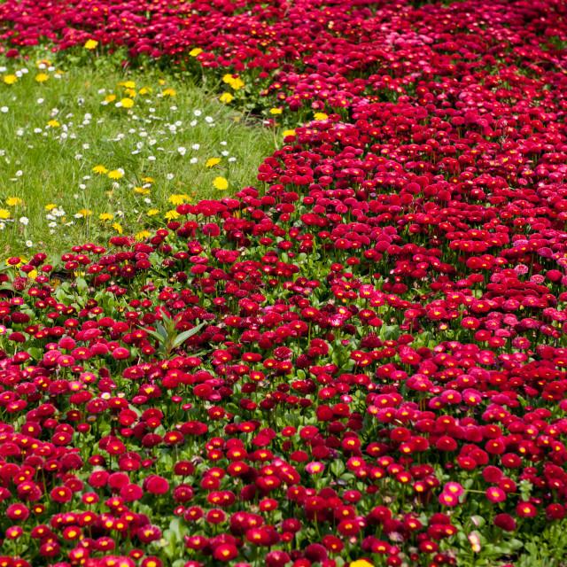 """Red Bellis perennis bedding flowers"" stock image"