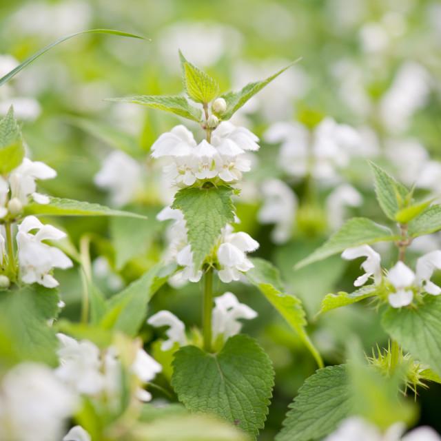 """""""Lamium album white flowers closeup"""" stock image"""