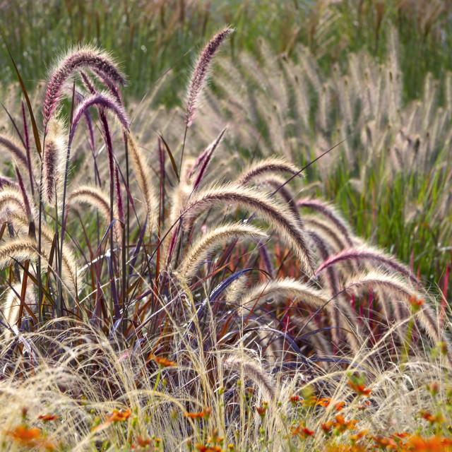 """Different Ornamental Grasses"" stock image"