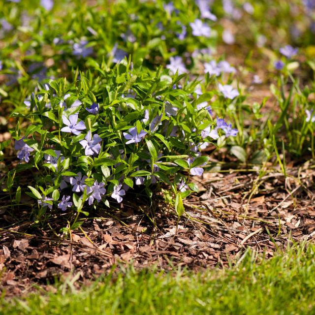 """""""Vinca flowers garden bedding"""" stock image"""