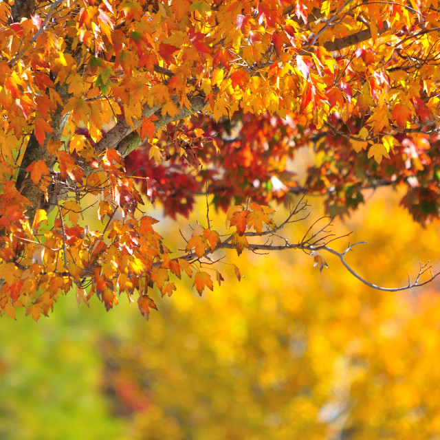 """Fall Colored Leaves"" stock image"
