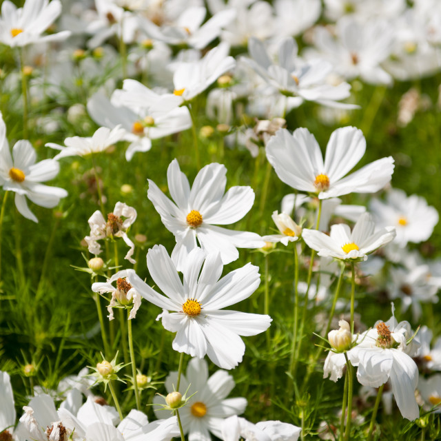 """""""White Cosmea plants blooming"""" stock image"""