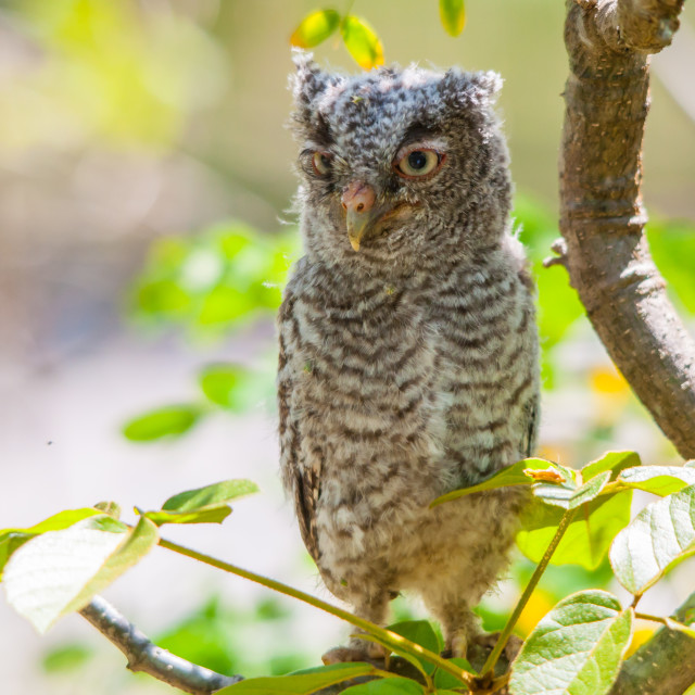 """Eastern Screech-Owl"" stock image"