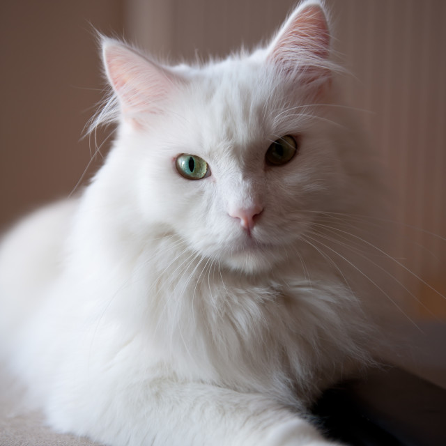 """""""Turkish Angora white cat"""" stock image"""