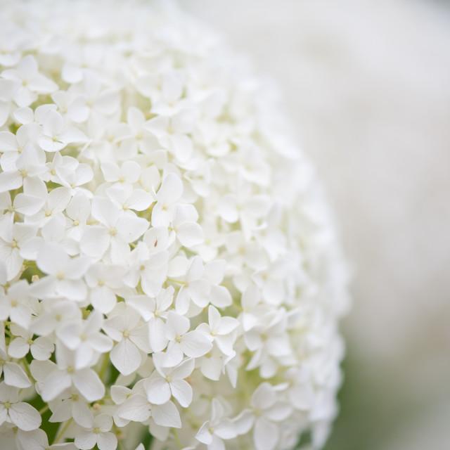 """Spherical hydrangea flowering macro"" stock image"