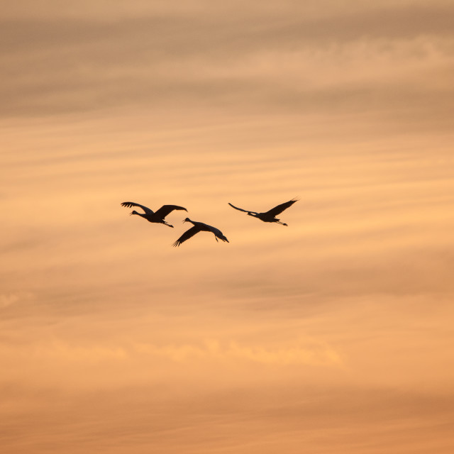 """Sandhill Cranes"" stock image"