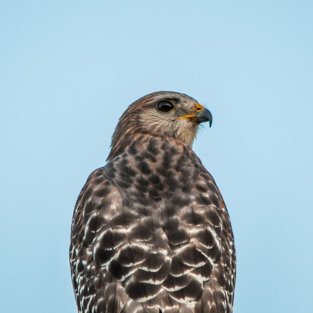 """Red-shouldered hawk"" stock image"