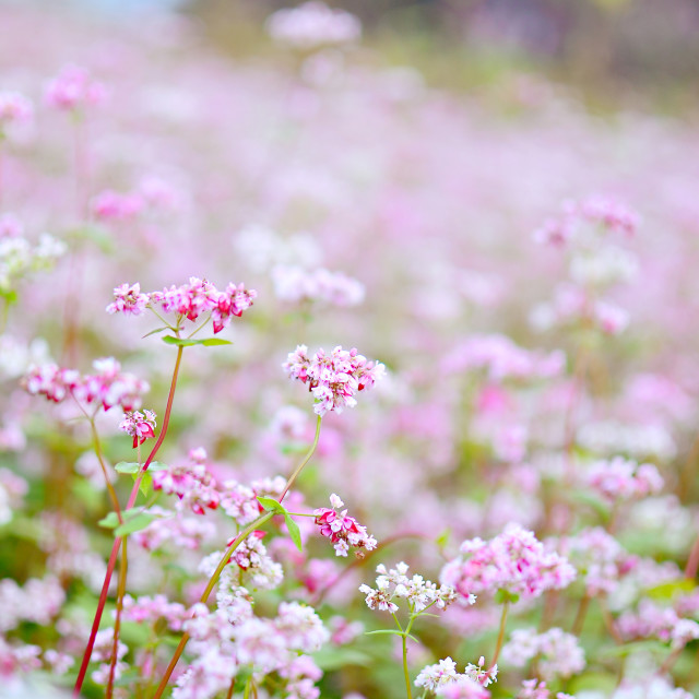"""Buckwheat flowers"" stock image"