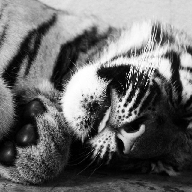 """""""Tiger Cub in Thailand"""" stock image"""