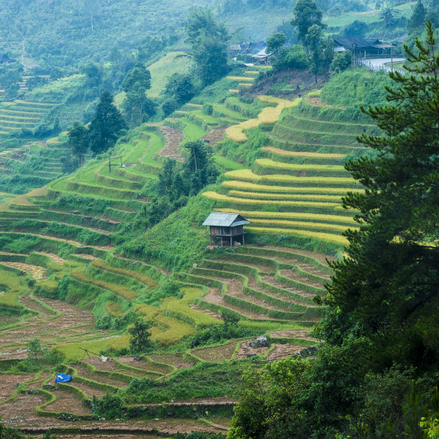 """Hills of rice terraced fields"" stock image"