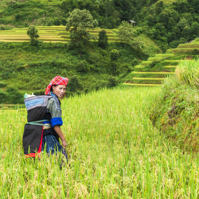 """Hmong woman working on the rice terraced field"" stock image"