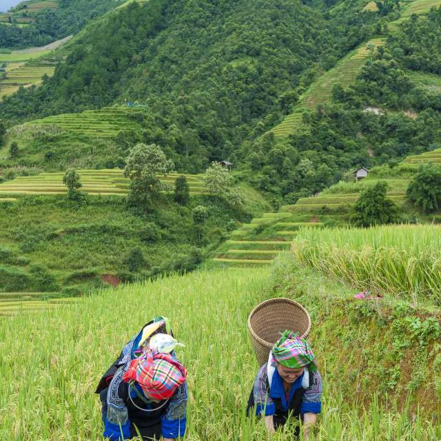 """Hmong woman working on the terraced rice field"" stock image"