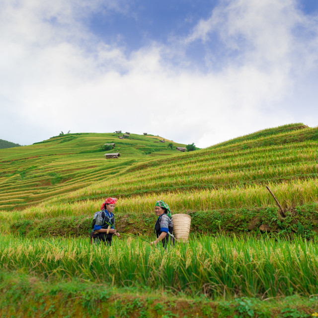 """""""Hmong woman working on the terraced rice field"""" stock image"""