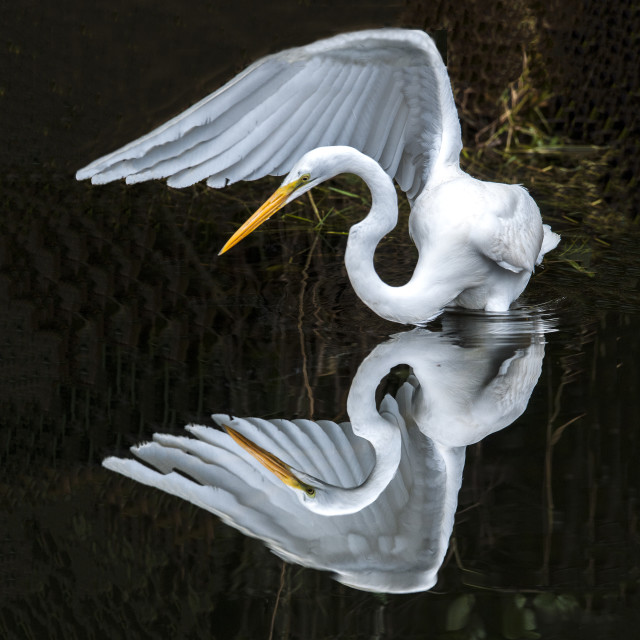 """Great Egret Reflection"" stock image"