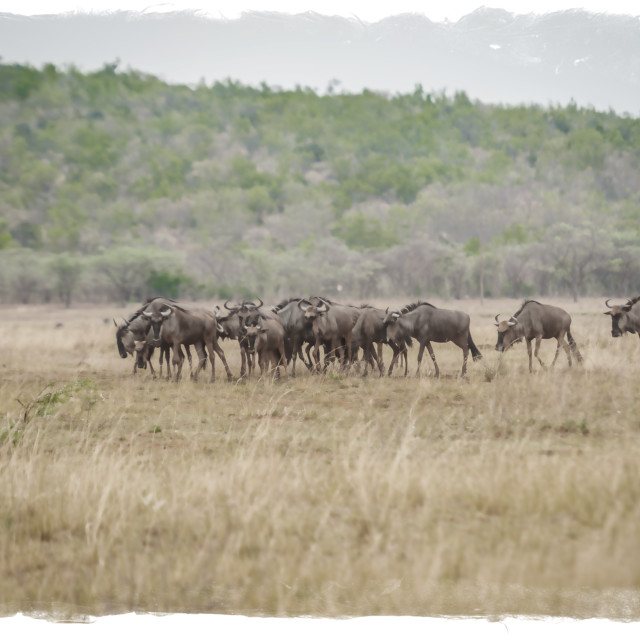 """Herd of wildebeest"" stock image"