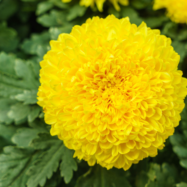 """Yellow Chrysanthemum Blossom"" stock image"