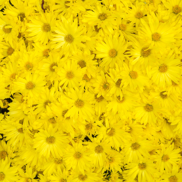 """Yellow Daisies Background"" stock image"