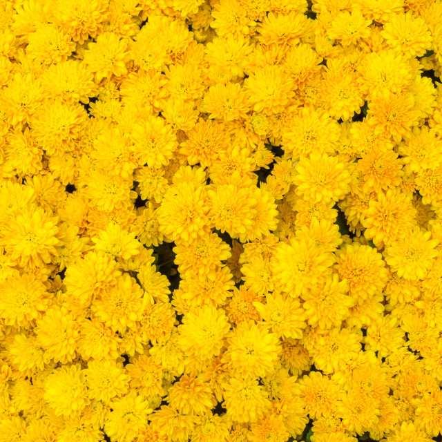 """Yellow Chrysanthemum Background"" stock image"