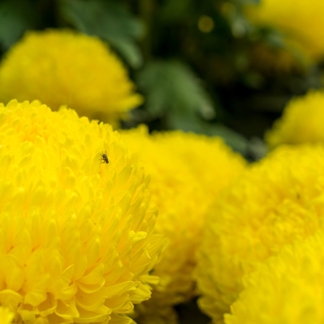 """Yellow Chrysanthemum & The Fly"" stock image"