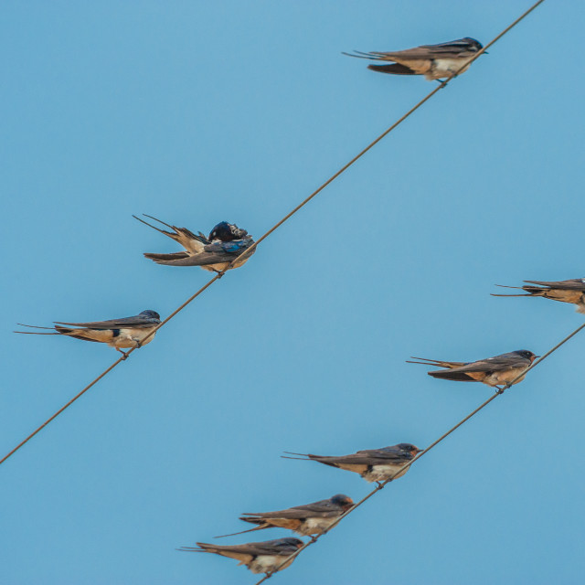 """Spring. The arrival of the first swallows."" stock image"