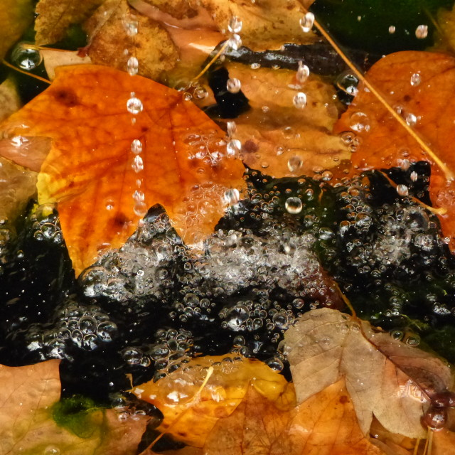 """Water dripping on autumn leaves"" stock image"