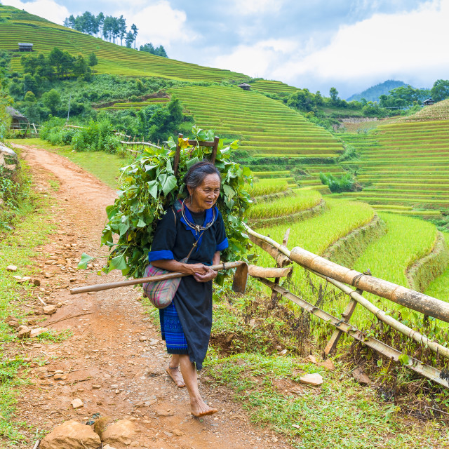 """Old Hmong woman walks on the path of rice terraces field"" stock image"