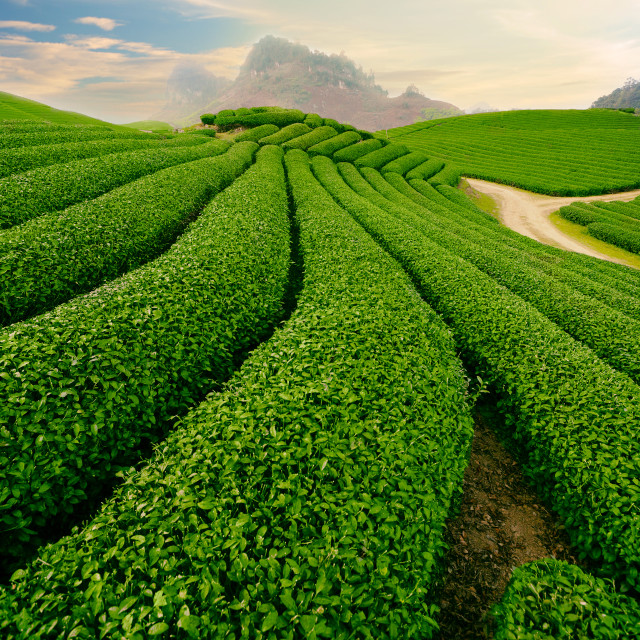 """Tea Hills Farms"" stock image"