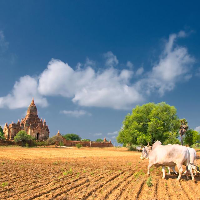 """Farmer at Bagan, Burma"" stock image"