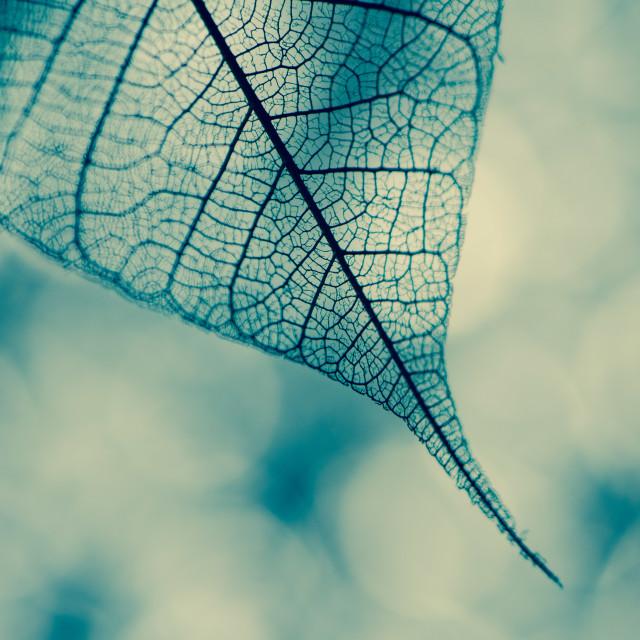 """""""Skeletal leaf"""" stock image"""