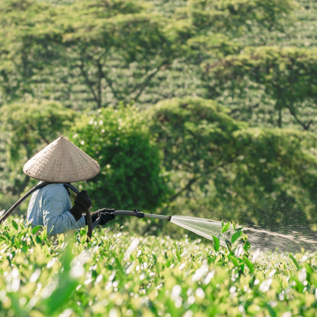 """People watering the tea trees on the hill"" stock image"