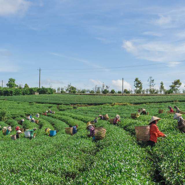 """People collecting tea leaves in the field"" stock image"