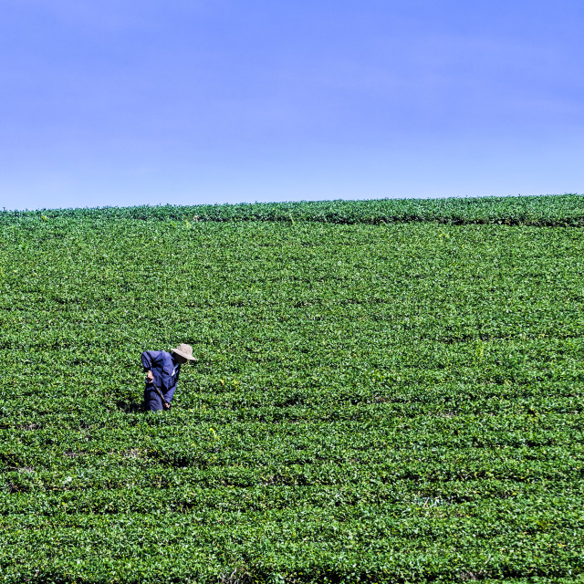 """People working on the hill of farming tea trees"" stock image"