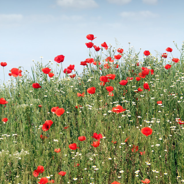 """""""wild flowers meadow spring season"""" stock image"""