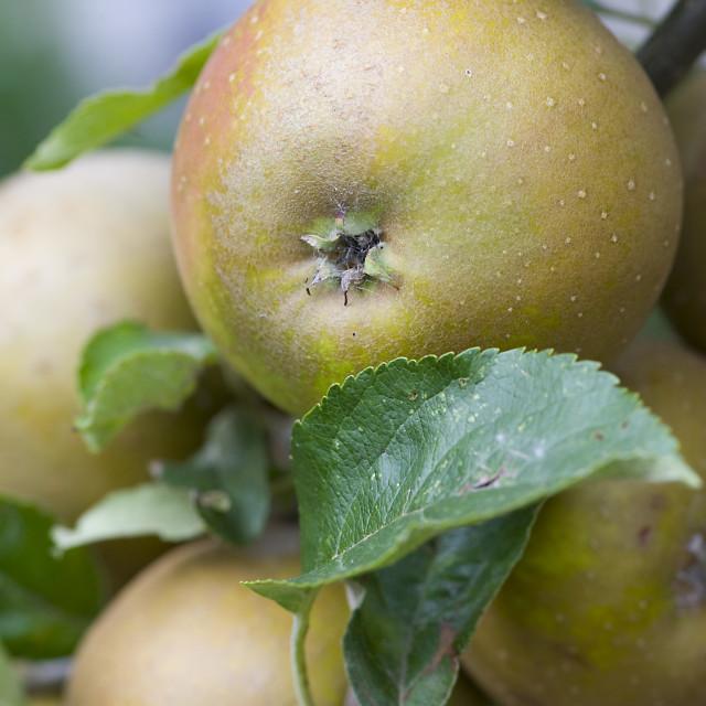"""""""Apple on Tree"""" stock image"""