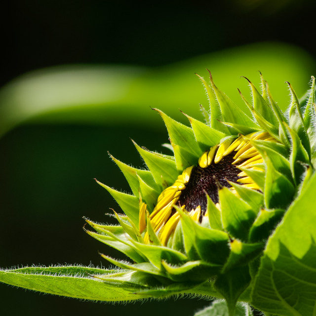 """Sunflower bud in low-key"" stock image"
