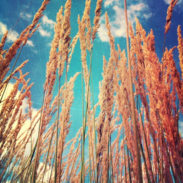 """""""Oats Against a Blue Sky"""" stock image"""