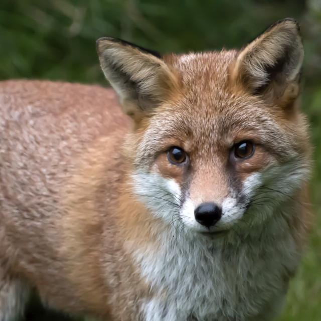 """""""Fox 3."""" stock image"""