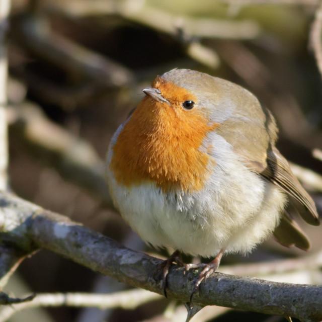 """European Robin puffed up"" stock image"
