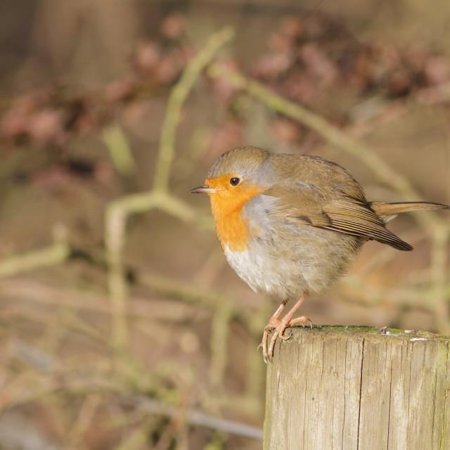 """European Robin on a post"" stock image"