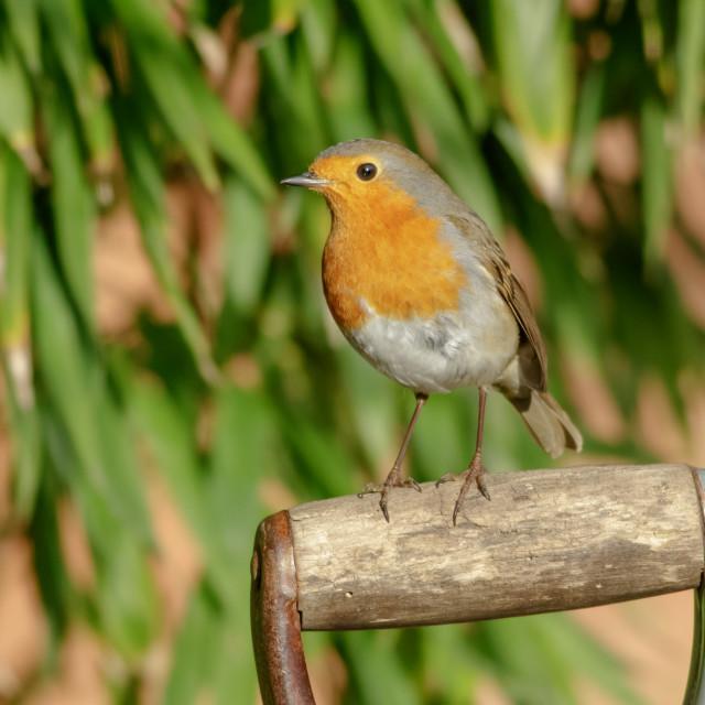 """European Robin on garden fork handle"" stock image"