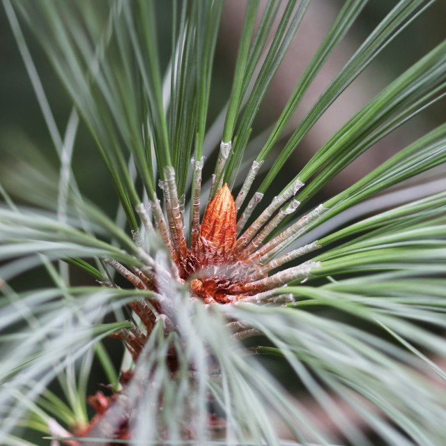 """Pine Tree"" stock image"