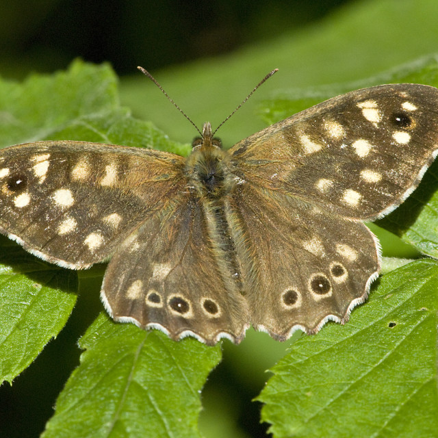 """""""The Speckled Wood Butterfly"""" stock image"""