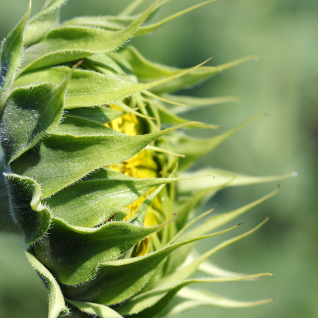 """""""closed green sunflower close up"""" stock image"""